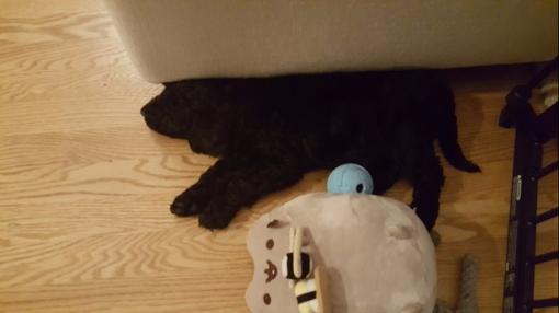 sleeping-puppy.jpg